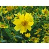 500 Earlybird Nyger, Nyjer Guizotia Abyssinica Flower Seeds
