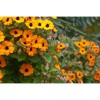 35 HEIRLOOM Black-eyed Susan vine (Thunbergia alata) SEEDS
