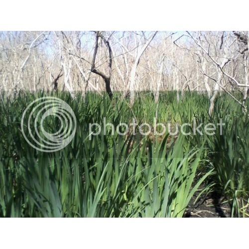 Giant Water Reeds aquatic water filter plants
