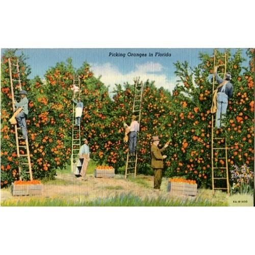 Linen Postcard. Picking Oranges in Florida
