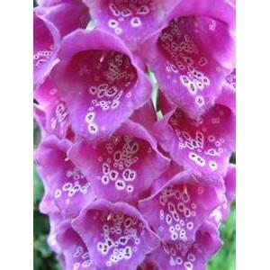 100 Variety Digitalis Purpurea Violet SEEDS