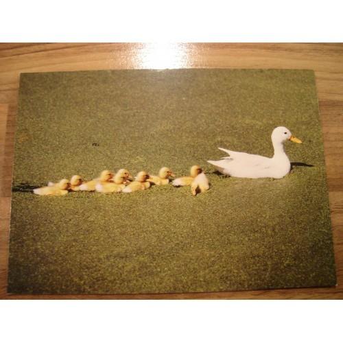 BIRD - birds - DUCK - ducks - duckling #112