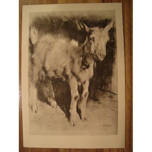 MALE GOAT - goats #125