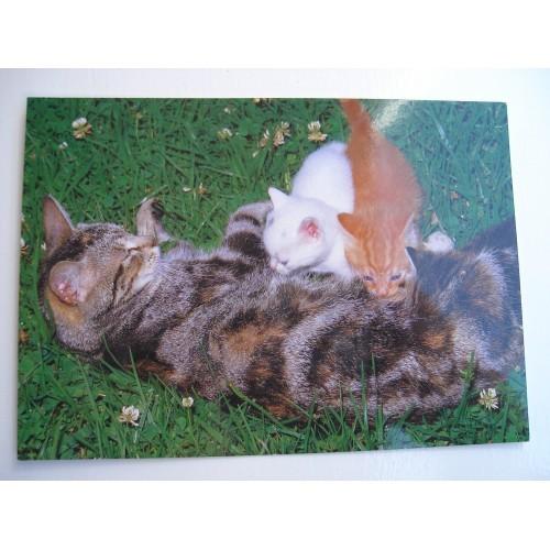 CAT - cats - kitten - kittens - tabby - shorthair #213