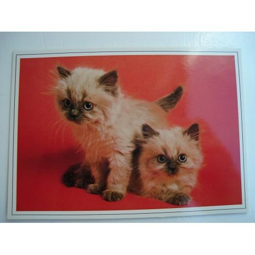 CAT - cats - kitten - kittens - Himilayan #223