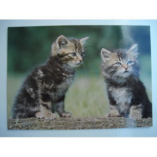 CAT - cats - kitten - kittens - shorthair - tabby #237