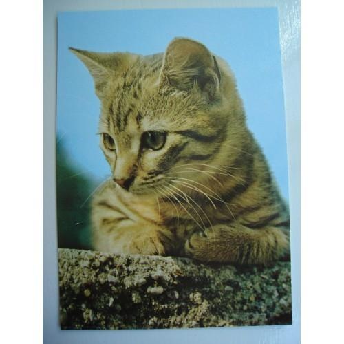 CAT - cats - kitten - kittens - shorthair - tabby #239