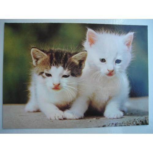 CAT - cats - kitten - kittens - shorthair #242
