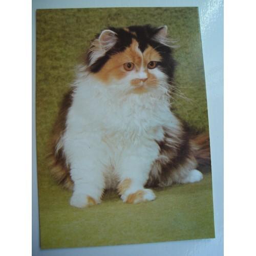 CAT - cats - kitten - kittens - Ragdoll #245