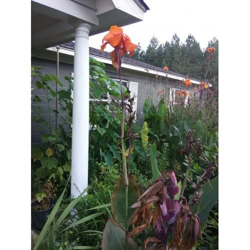 2 Bright Orange Tropical Canna Lily Bulbs